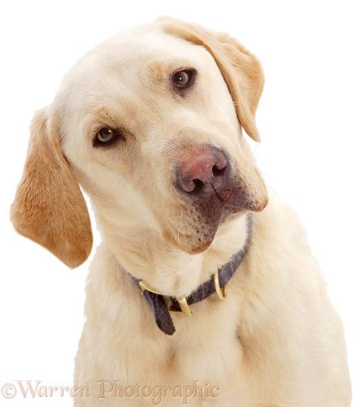 Portrait of Yellow Labrador Retriever dog, Hamilton, listening intently
